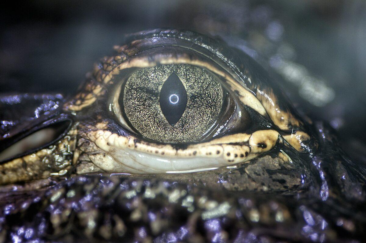 Alligator guette